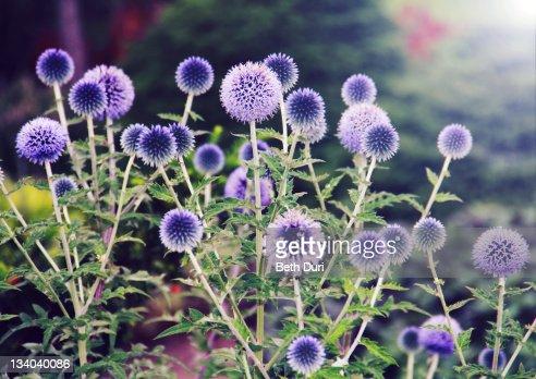 Echinops bannaticus, blue globe-thistle flowers