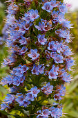 Echium acanthocarpum is endemic to the island of La Gomera which is one of the Canary Islands Spain located in the Atlantic Ocean off the coast of...