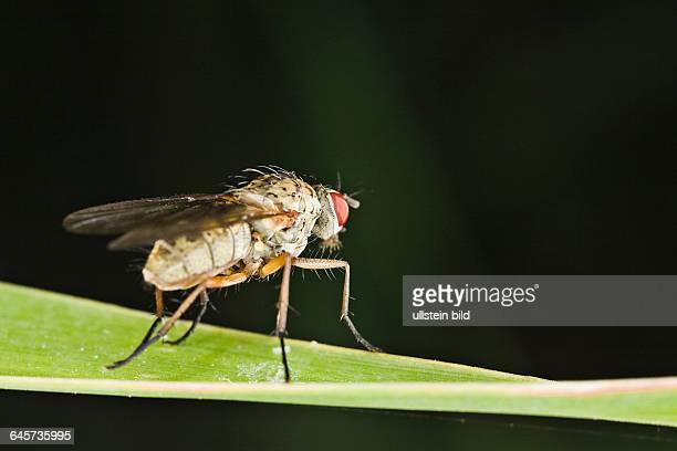 Echte Fliege auf einem Grashalm fly on a culm