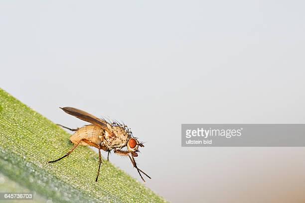 Echte Fliege flie