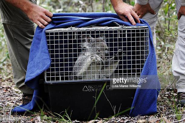 Ecologist Ben Nottidge from the Wildlife Warriors Ecological Services Unit tracks koalas at Brendale on the outskirts of Brisbane he works closely...