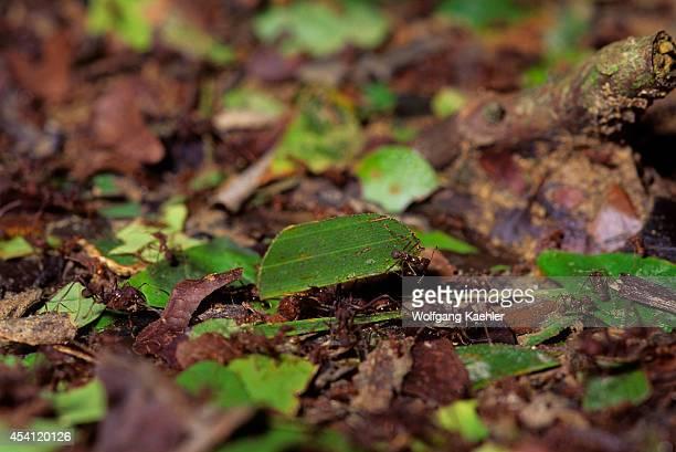 Ecuador Amazon Basin Near Coca Rain Forest Leafcutter Ants
