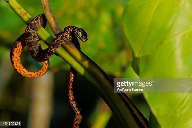 Ecuador Amazon Basin Near Coca Rain Forest Rainbow Boa In Bush