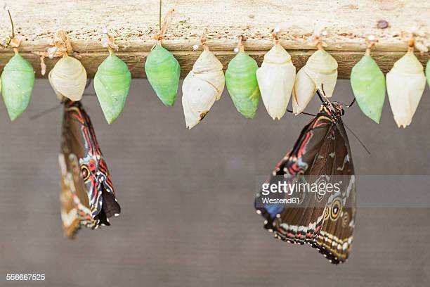 Ecuador, Amazonas River Region, freshly hatched Helenor Morphos