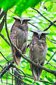 Ecuador, Amazonas River Region, two Crested owls on branch