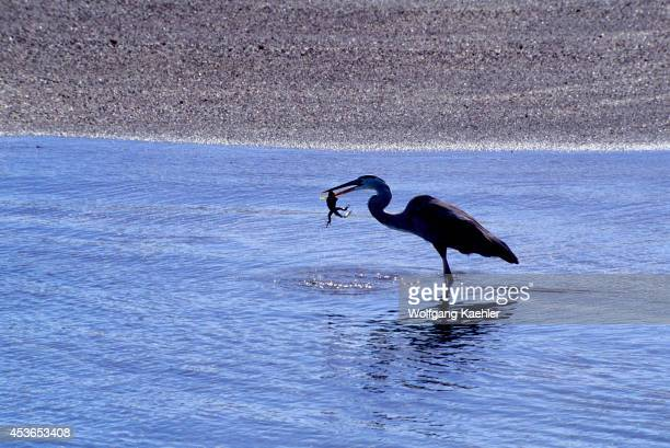 Ecuador Galapagos Island Fernandina Island Great Blue Heron Eating Marine Iguana