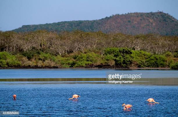 Ecuador Galapagos Island Floreana Island Flamingos Feeding In Lagoon