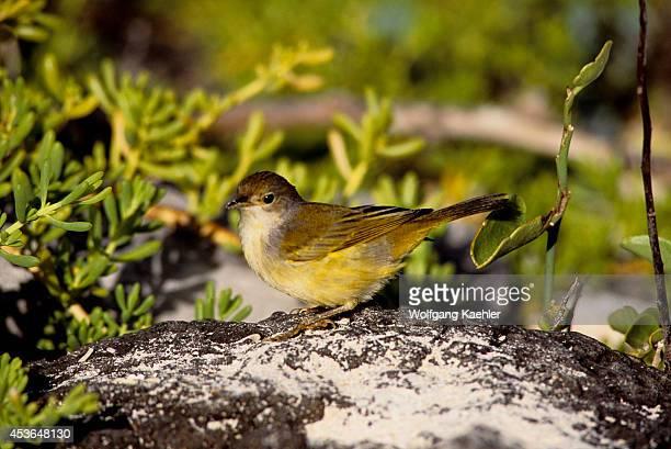 Ecuador Galapagos Island Floreana Island Yellow Warbler