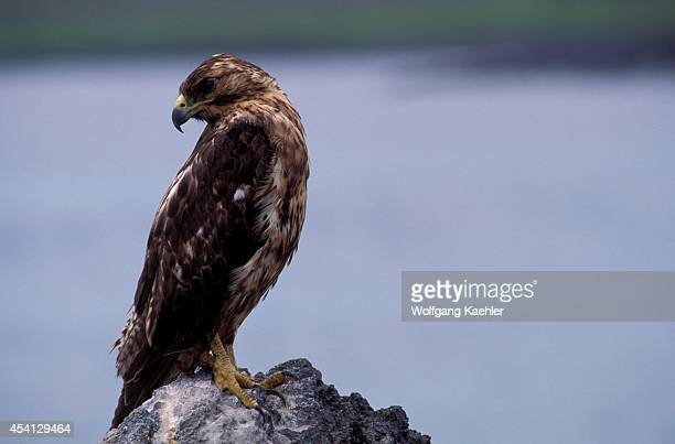 Ecuador Galapagos Island Hood Is Galapagos Hawk