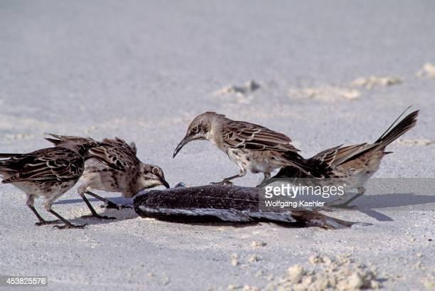 Ecuador Galapagos Island Hood Is Gardner Bay Mockingbirds Feeding On Dead Fish