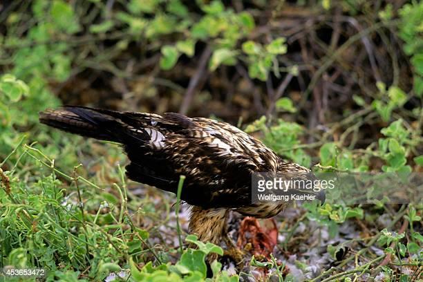 Ecuador Galapagos Island Hood Island Juvenile Galapagos Hawk Feeding On Booby