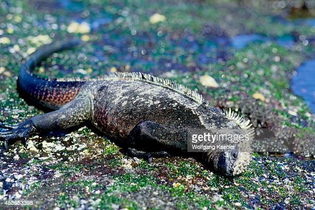 Ecuador Galapagos Islands Fernandina Island Marine Iguana Feeding On Algae Low Tide