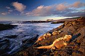 Ecuador, Galapagos Islands, Fernandina Island, marine iguana on rocks