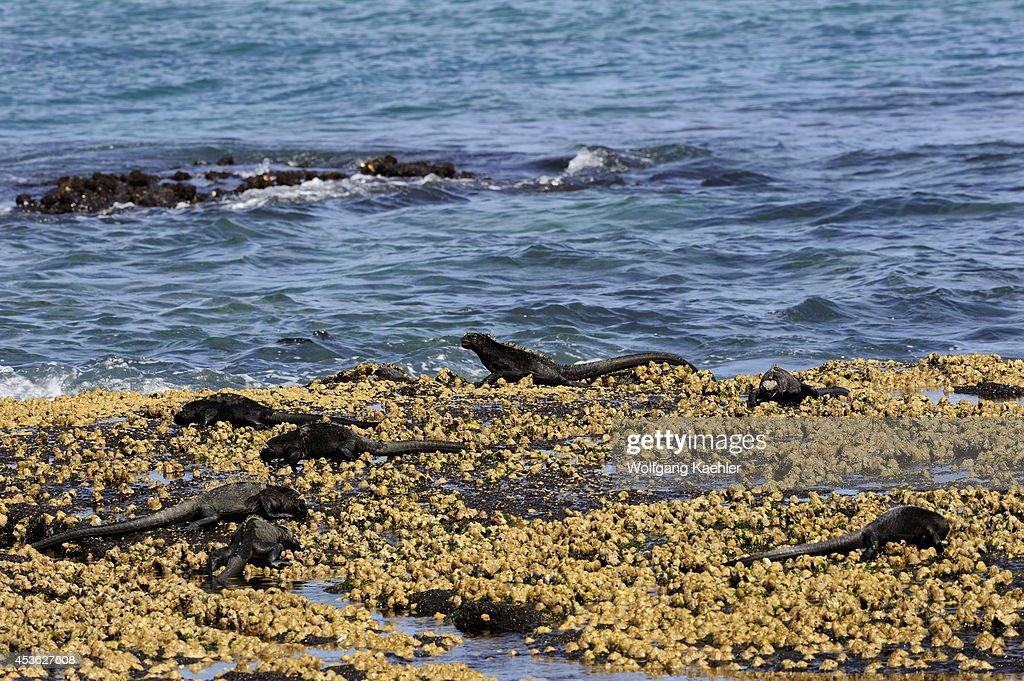 Ecuador Galapagos Islands Fernandina Island Marine Iguanas Feeding At Low Tide