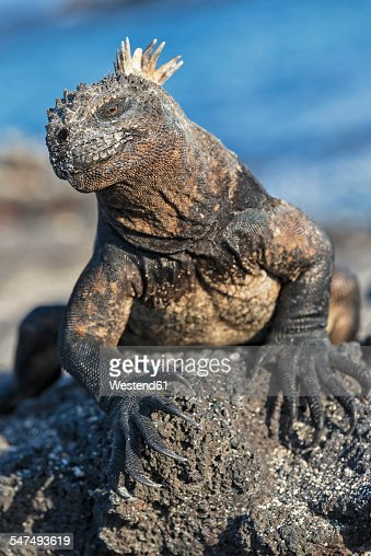 Ecuador, Galapagos Islands, Fernandina, Marine iguana, Amblyrhynchus cristatus, sitting on stone