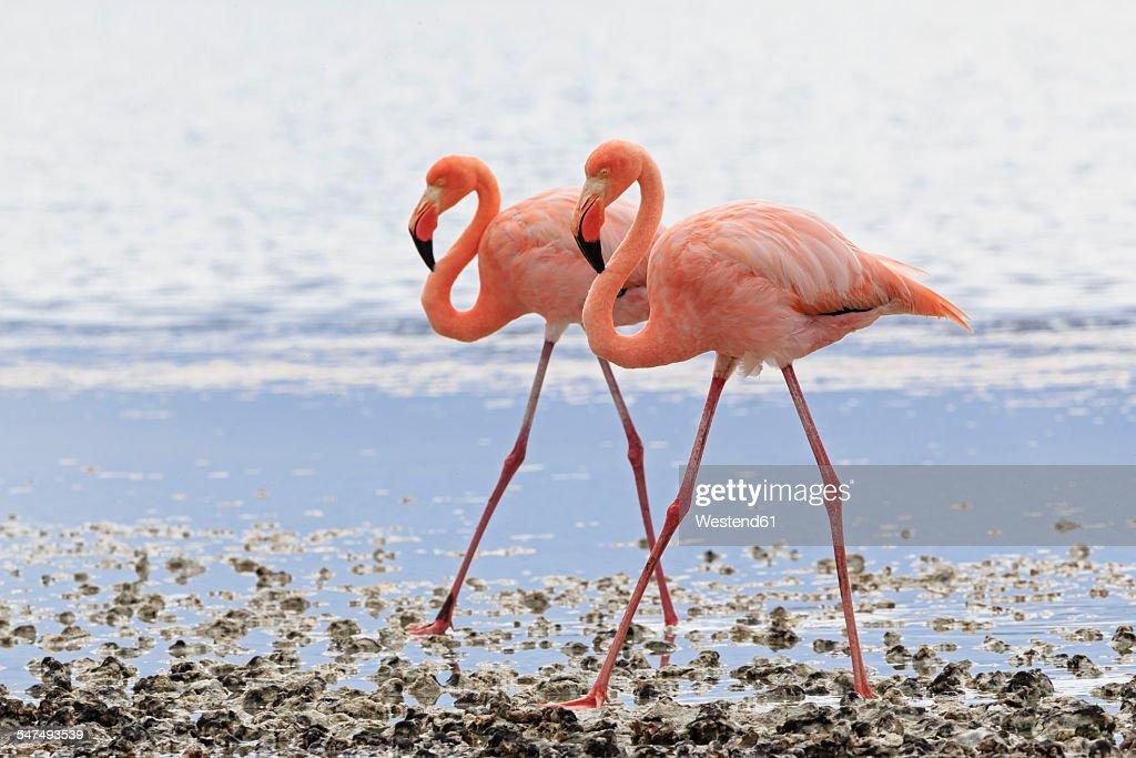 Ecuador, Galapagos Islands, Floreana, Punta Cormorant, two pink flamingos walking side by side in a lagoon