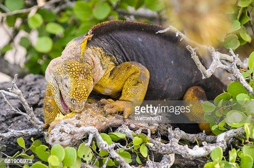 Ecuador, Galapagos Islands, Galapagos land iguana, Conolophus subcristatus