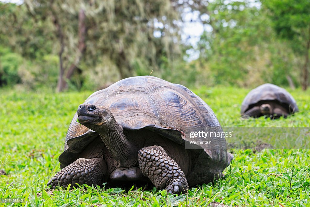 Ecuador, Galapagos Islands, Galapagos tortoises on a meadow