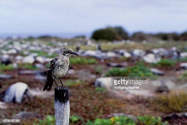 Ecuador Galapagos Islands Hood Island Mockingbird Sitting On Post
