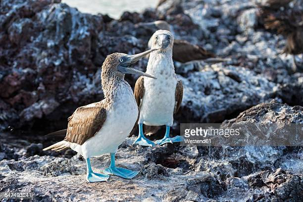 Ecuador, Galapagos Islands, Isabela, two blue-footed boobies