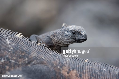 Ecuador, Galapagos Islands, Santa Cruz Island, Puerto Ayora, two Marine Iguanas (Amblyrhynchus cristatus) on lava rocks : Stock Photo