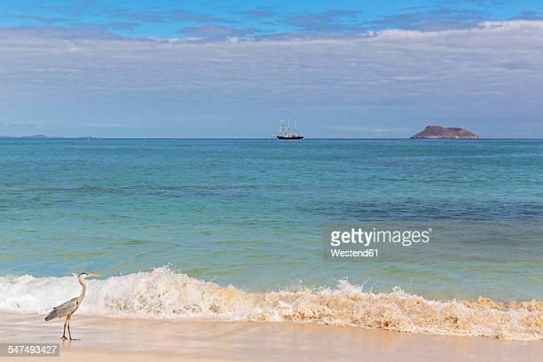 Ecuador, Galapagos Islands, Santa Cruz, Playa Las Bachas, Great blue heron at seashore of Pacific Ocean