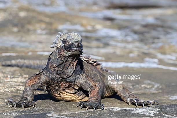 Ecuador, Galapagos Islands, Santiago, Puerto Egas, Marine iguana, Amblyrhynchus cristatus, sitting on stone