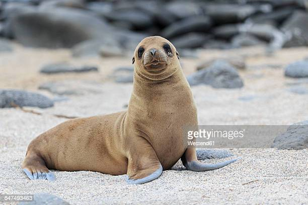 Ecuador, Galapagos Islands, Seymour Norte, young sea lion on sandy beach