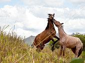 Ecuador, Horses fighting in field