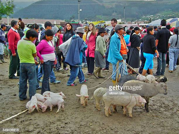 Otavalo a unbiased animal market at the westside of the city Animal marketeer with sheeps and pigs