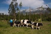 Ecuador, Otavalo, woman and cows