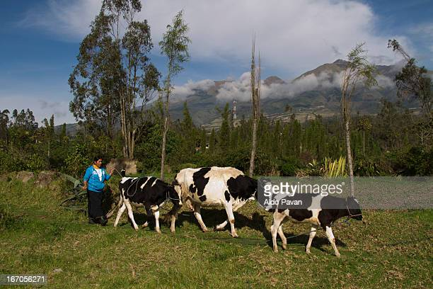 Ecuador, Otavalo, woman and cows