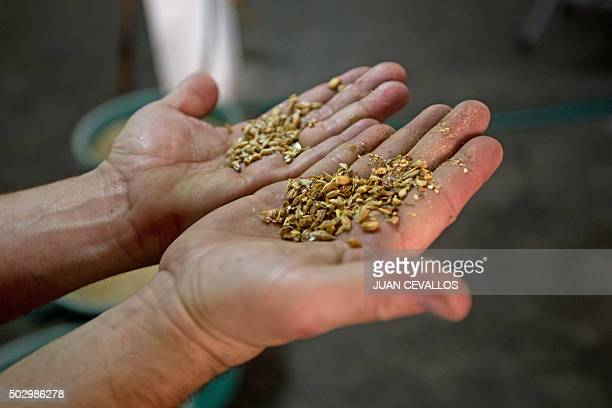 Ecuadorean producer of craft beer David Jervis shows barley at the production plant of Monkey's Brew in Quito on December 23 2015 The consume of...