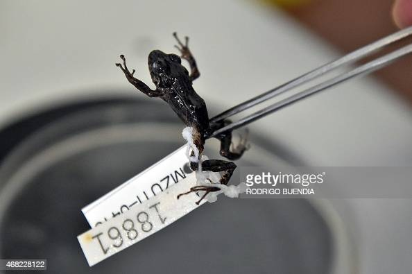 Ecuadorean scientist Juan Manuel Guayasamin shows a frog during an interview with AFP in Quito on March 31 2015 Guayasamin leads a group of...