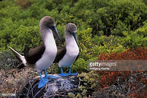 Ecuadorgalapagos Islands Espanola Islandbluefooted Boobies Courtship Behavior