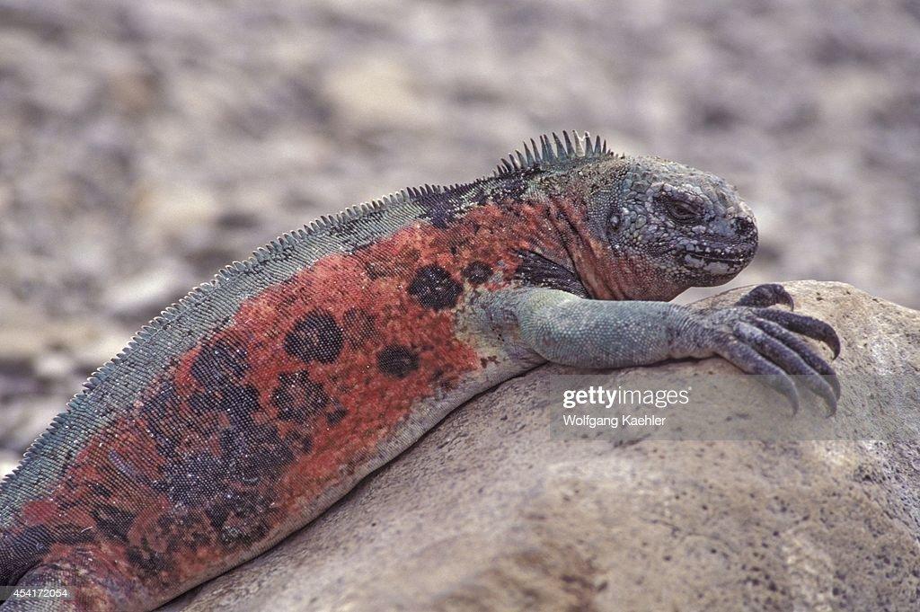 Ecuadorgalapagos Islands Hood Island Red Marine Iguana