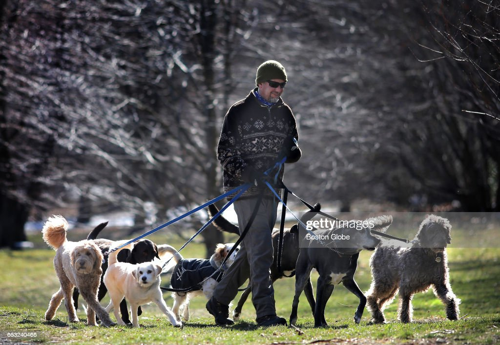 Ed Narenkivicius walks a pack of dogs at the Arnold Arboretum in Boston on Mar. 13, 2017, a sunny day before a noreaster is expected to rear up in the region. This winter in New England has been perceived as a particularly mercurial one.