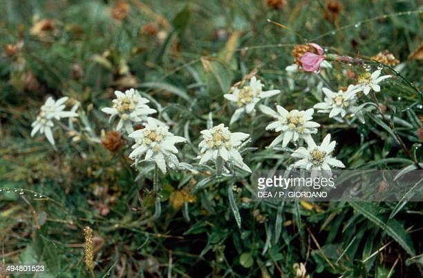 Edelweiss Asteraceae
