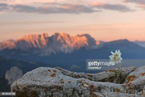 Edelweiss bei Sonnenaufgang mit Dolomiten im Hintergrund
