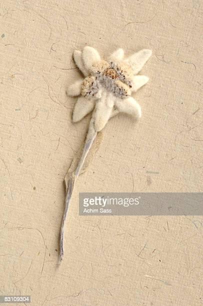 Edelweiss flower (Leontopodium alpinum), close-up