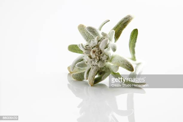 Edelweiss flowers (Leontopodium alpinum) on white background