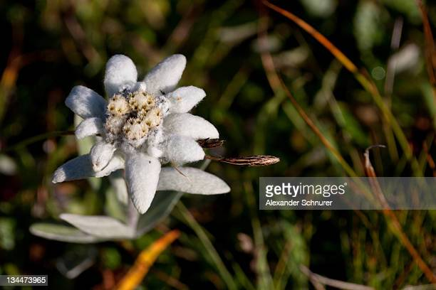 Edelweiss (Leontopodium) in the Glarus Alps, Canton Glarus, Switzerland, Europe