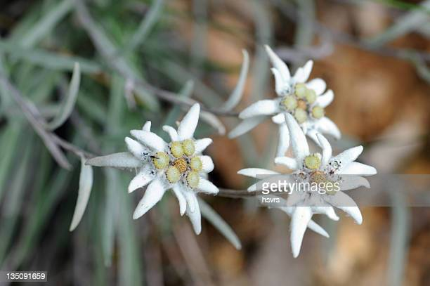 Edelweiss (Daisy Family