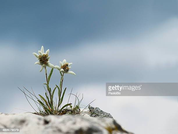 Edelweiss with a cloudy sky in the background