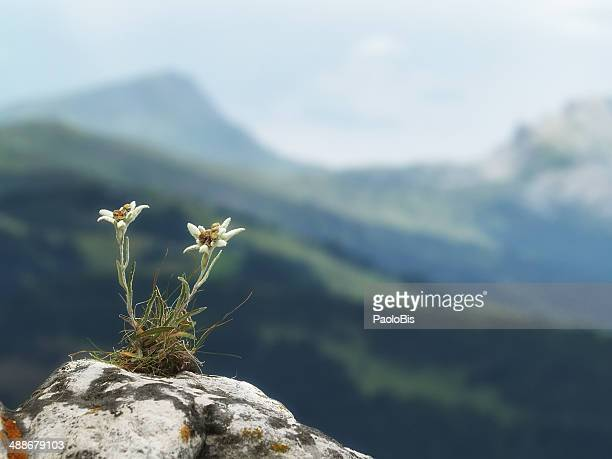 Edelweiss with mountains in the background