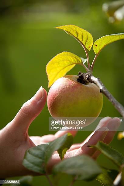 Eden_apple