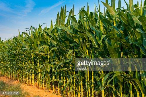 Edge Row Of a Farms Cornstalks Diminishing In Perspective