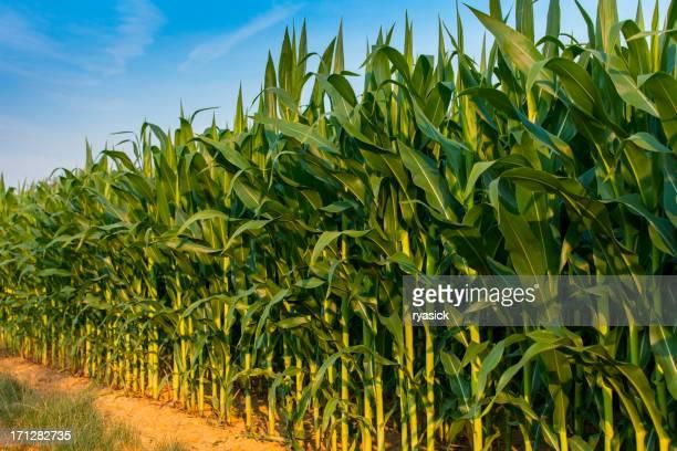 Edge Reihe von Farmen Cornstalks sinkende In Sicht