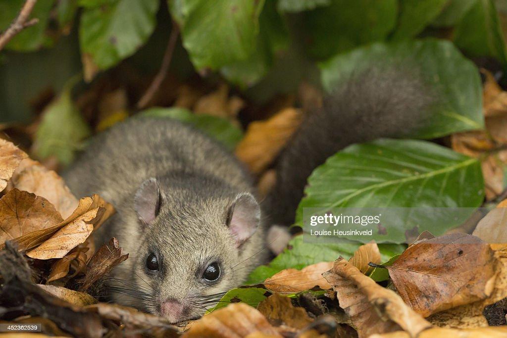 Edible doormouse hides among beech leaves