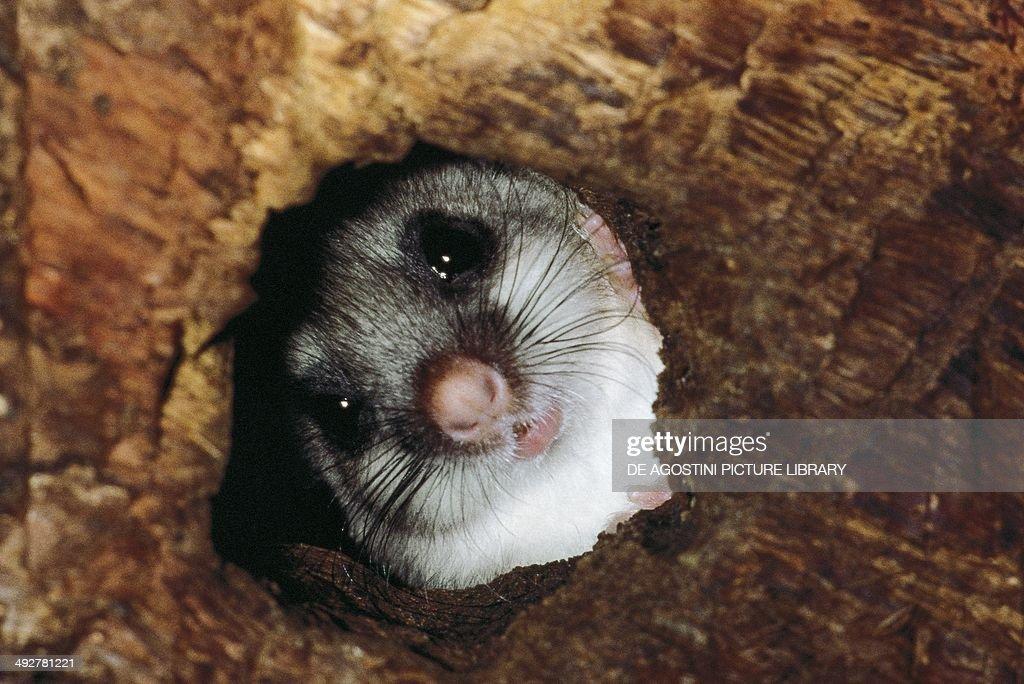 Edible dormouse or Fat dormouse Gliridae